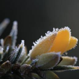 Frozen yellow gorse
